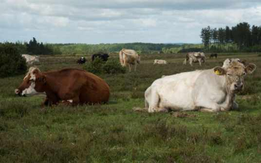 124-cows-on-turf-hill