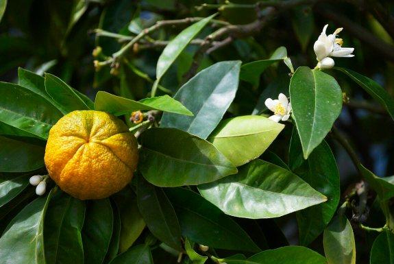 Petit grain mandarinier