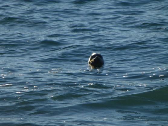 Duncan Cove Seal
