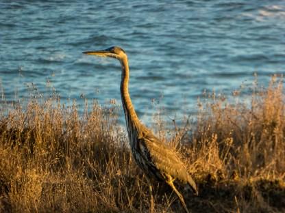 Heron near Timber Cove