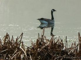 Water fowl on Lake Cleone