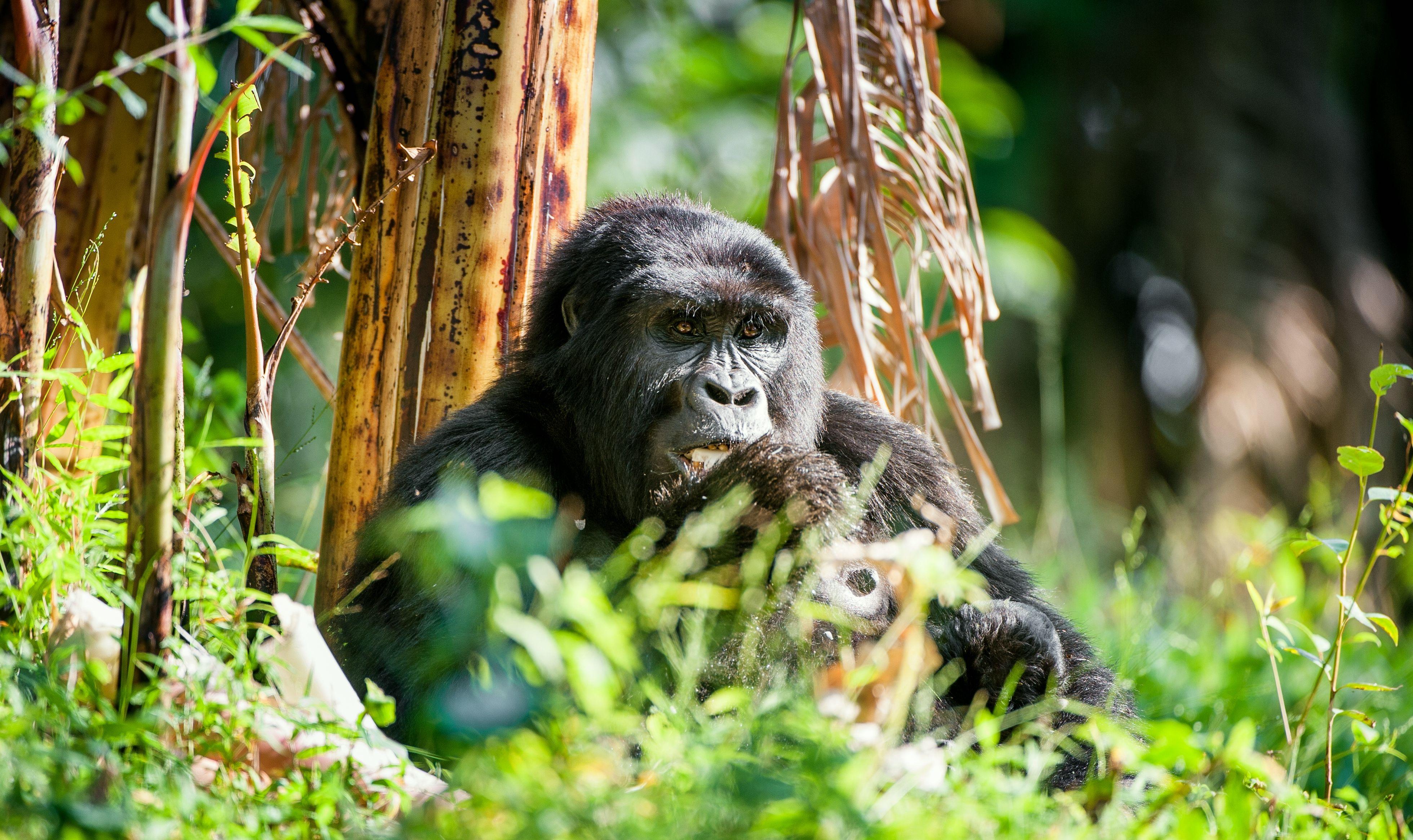Portrait of a mountain gorilla
