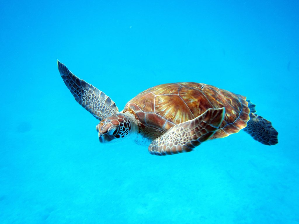 Sea Turtle close to the beach in Barbados