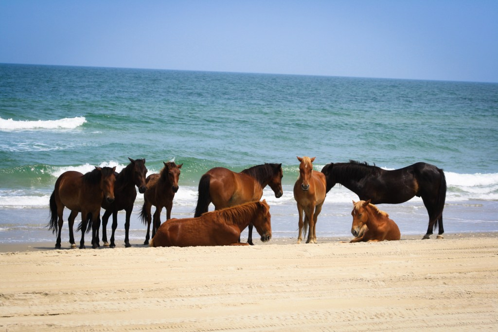 Wild Horses on the Outer Banks in North Carolina