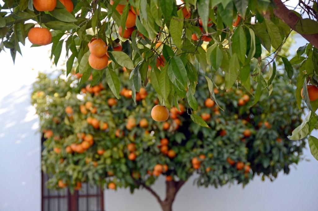 Orange Tree in Rhonda