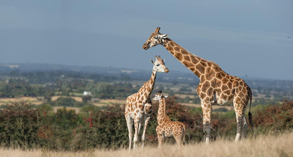 Port Lympne Hotel and Reserve giraffe