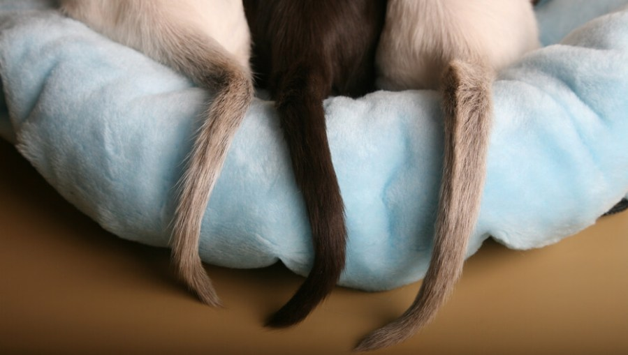 Tiga ekor kucing di tempat tidur kucing biru muda.