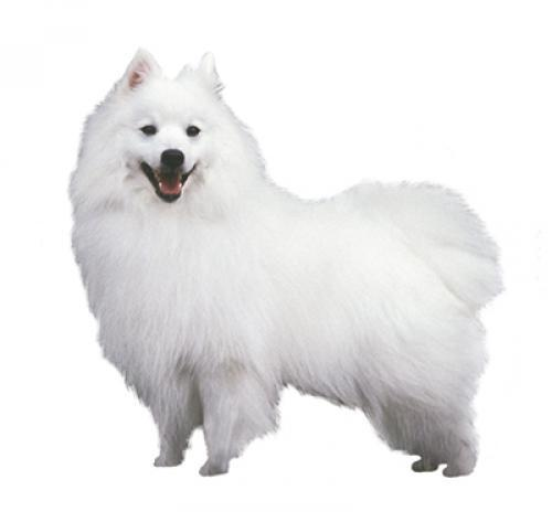 Japanese Spitz Dog Breed Information Purina