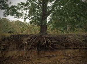 Exposed_mango_tree_roots