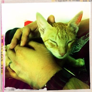 Miao Cat Cafe Cat Breeds