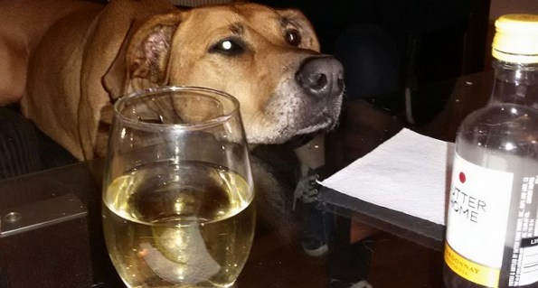 This dog knows what she wants. Wine.