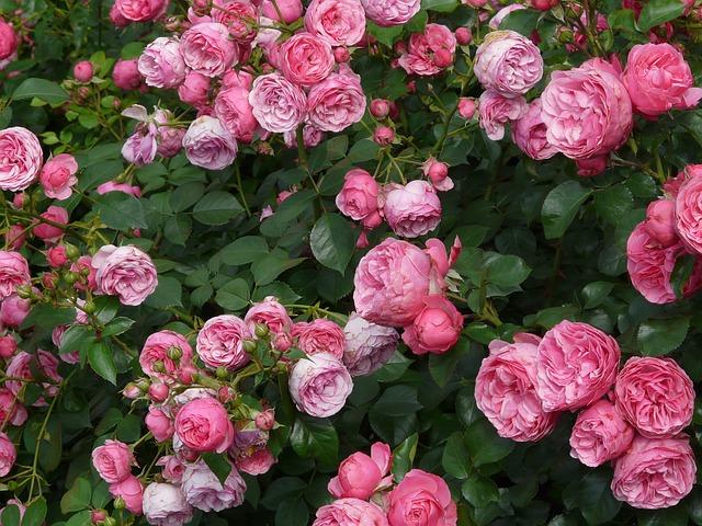 Austria Roses Vienna
