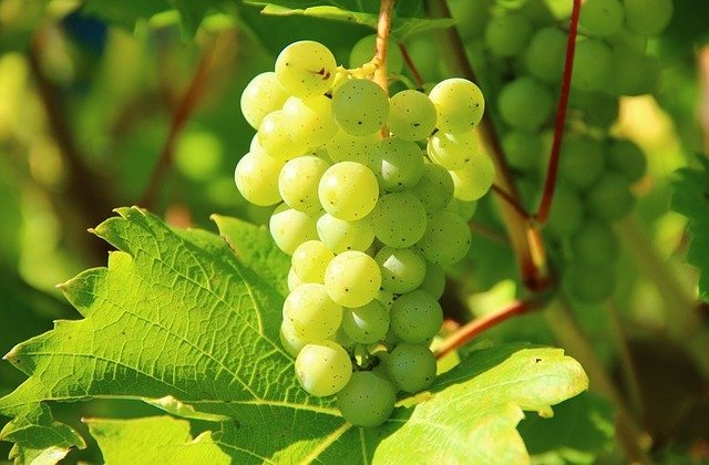 white grapes for heurige wine