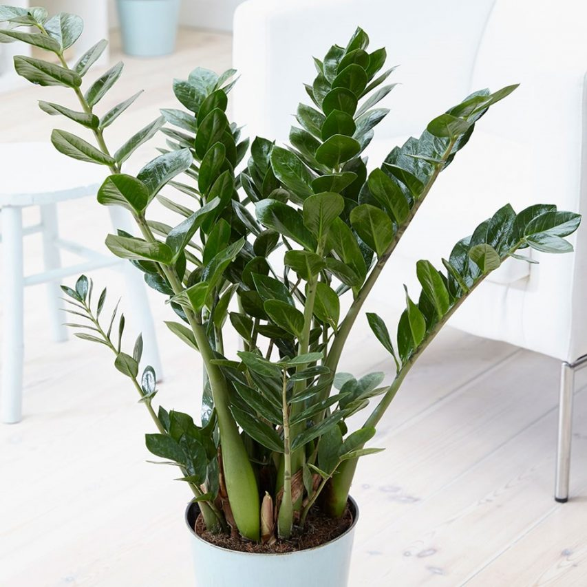 Houseplants that love to be in the dark, the zz zanzibar gem plant