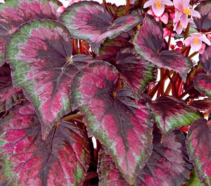 Rex Begonia with green and pink leaf pattern, houseplants that love to be in the dark