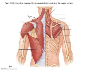 Muscles of Neck and Shoulder  PurposeGames
