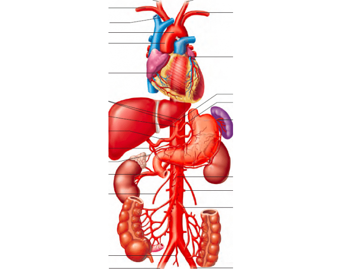 Portions Of Aorta And Principal Branches