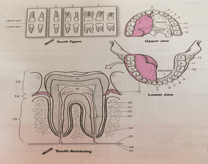 Digestive system: tooth anatomy and tooth types