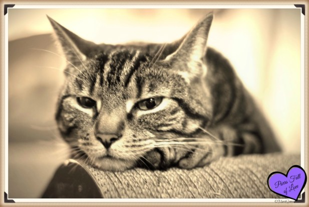 sepia vintage style tabby