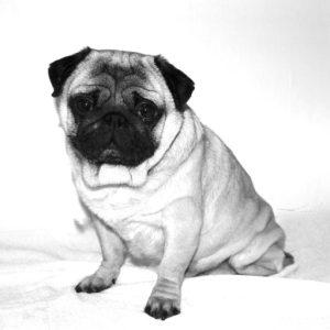 Jimmi the pug