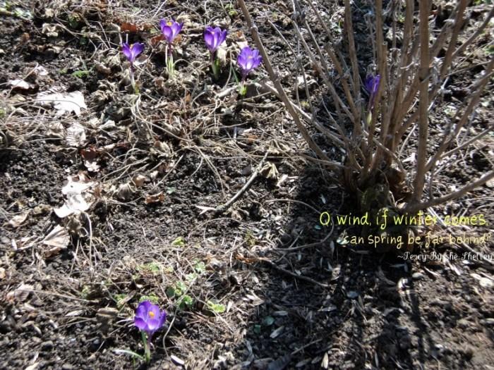Bunga Krokus Ungu