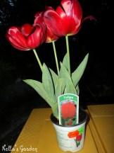 Bunga Tulip Ukuran Besar