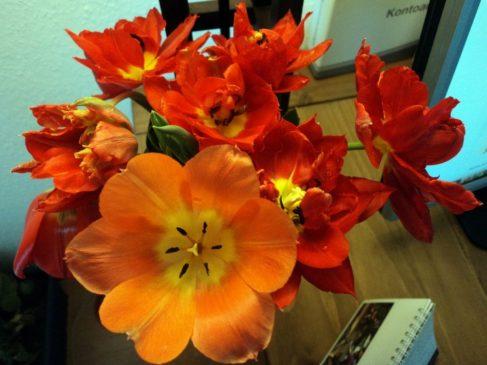 Mekarnya Tulip Merah