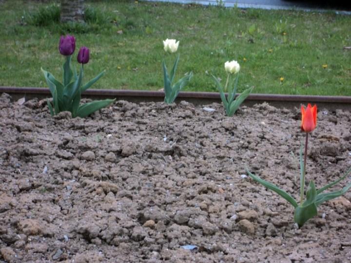 Taman Menuju Spiel platz, ada satu Tulip Ungu :)