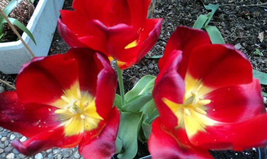 Diskonan Bunga Tulip