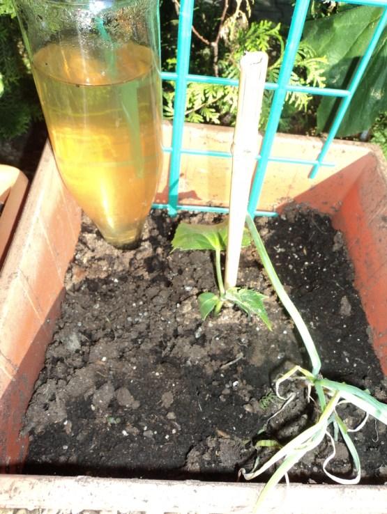 self watering tanaman. Hari Pertama air semakin berkurang 9 Juni 2012