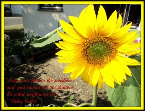 Bunga Matahari Mekar Sempurna 26 Juli 2012 Jam 17:08 (Foto: dok