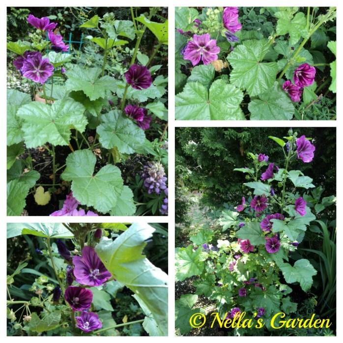 Bunga liar Malva sylvestris L.