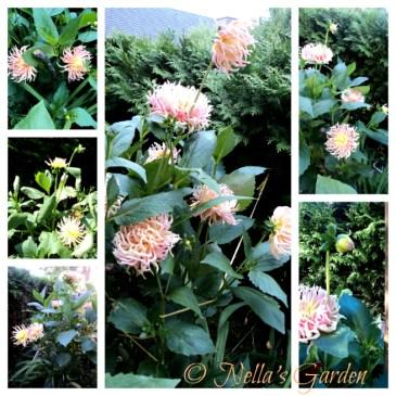 Tips Penanaman dan Perawatan Bunga Dahlia