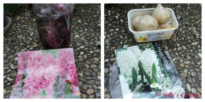Bibit Bunga Hyacinthus
