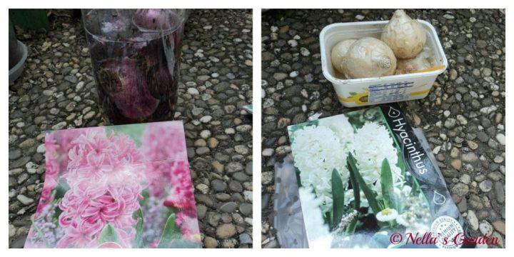 Bibit Bunga Hyacinthus. Bunga ini Nantinya Harum Sekali