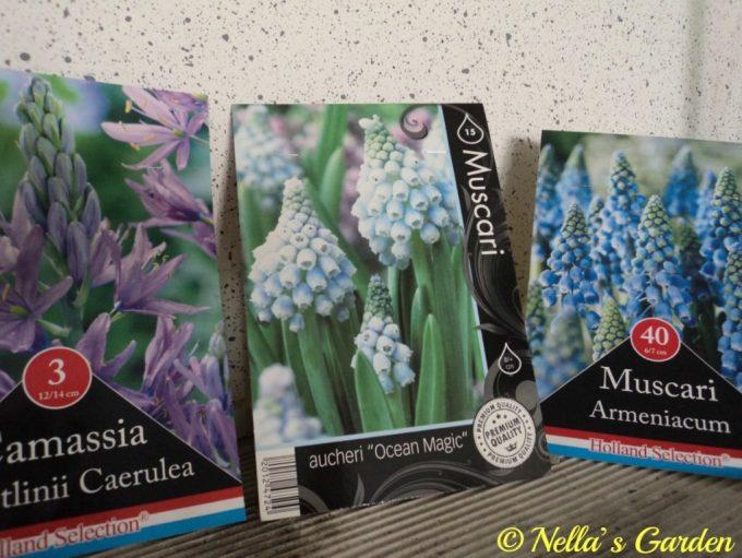 Bibit Bunga Muscari dan Camasia