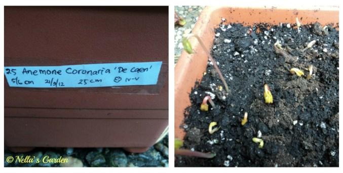 Bibit Bunga Anemone Coronaria sudah Mulai Tumbuh. Bibitnya saya tanam 21 September 2012