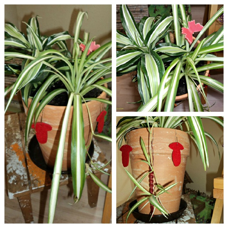 Spider Plant. Die Grünlilie kalau yang di Pot Besar tumbuh Subur dan sudah ada 3 anaknya Menggantung