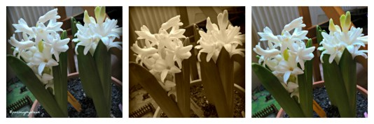 The Best Pic Hyacinthus Carnegie on January 24, 2013