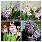 Foto Atas Hyacinth 'Pink Pearl' 20 dan 21 Januari 2013. Foto Bawah Kedua 22 Januari 2013