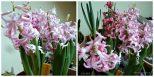 Cantiknya Hyacinthus orientalis 'Pink Pearl'