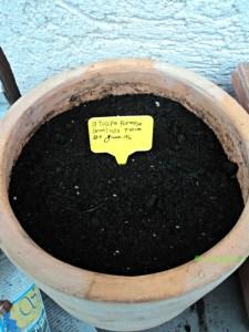 Karena Sedang Musim Dingin jadi Pot Isi Bibit Tulip saya Taruh Luar Hingga Tumbuh Beberapa cm