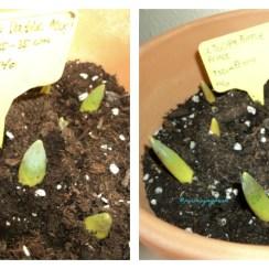Bibit Tulip Tumbuh Pesat Setelah di pindahkan dari luar rumah yang suhunya minus