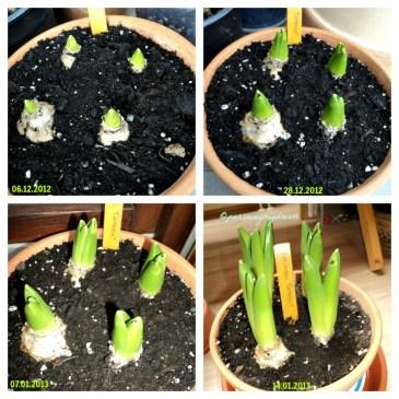 Pertumbuhan Hyacinth Carnegie