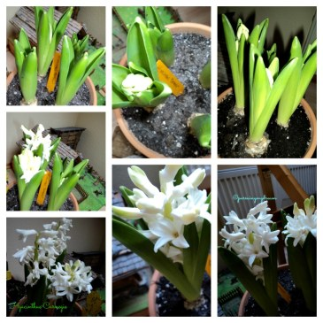 Growing Hyacinthus Carnegie White Color