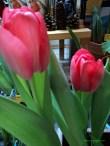 Tulip Darwin Hybrid warna merah muda. 4 Februari 2013
