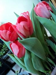 Tulip Darwin Hybrid warna merah muda. 05.02.2013