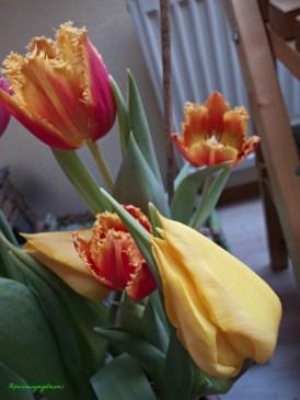 Tulip Triumph Warna Kunign & Orange