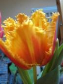 Tulip Triumph Tepi kelopak Bunga Bergerigi
