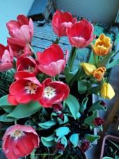 Kombinasi Tulip